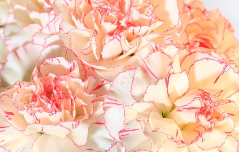 O Cravo Branco-cor-de-rosa Floresce O Fundo Fotografia de Stock Royalty Free