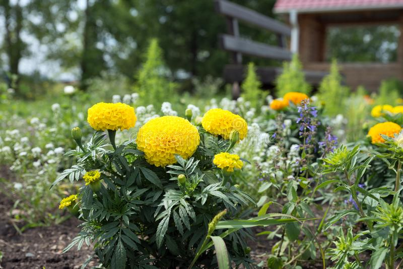 o cravo-de-defunto amarelo Baixo-crescente Tagetes floresce no canteiro de flores no jardim imagem de stock