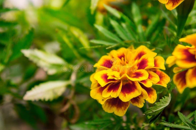 O cravo-de-defunto floresce no jardim no verão, flores amarelas, beaut imagem de stock royalty free