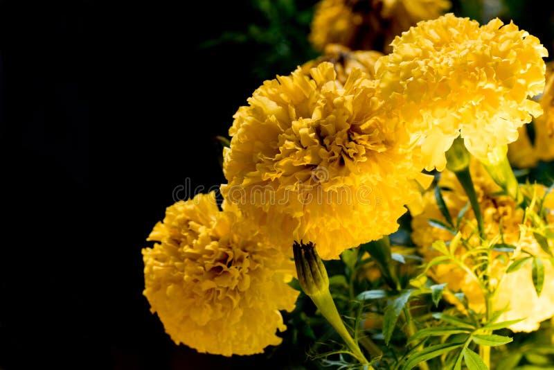 O cravo-de-defunto real floresce a flor completa o bonito brilhante do olhar da flor na obscuridade imagens de stock royalty free