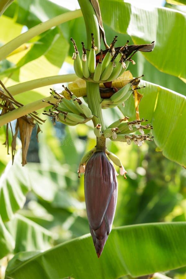 O crescimento das bananas dos jovens ao efeito da banana fotografia de stock