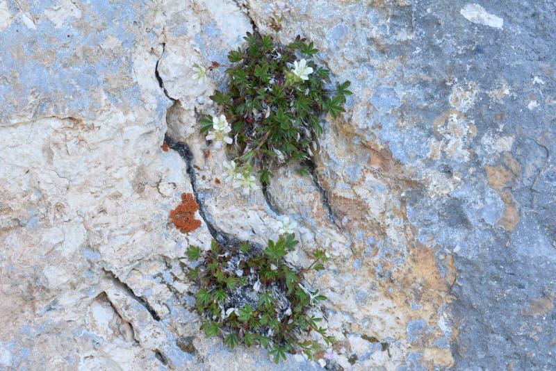 O crescimento de flores da montanha da fenda do penhasco fotografia de stock