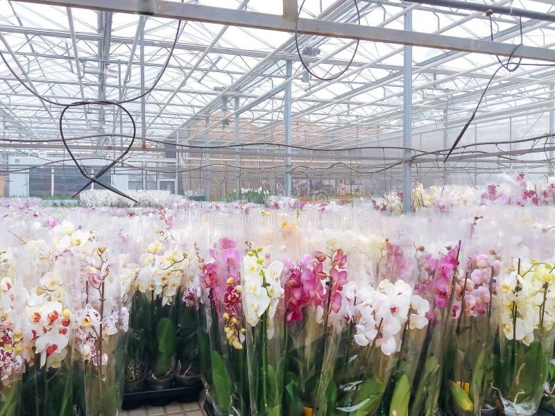 O crescimento de flores decorativo cultivado em uma folha plactic comercial cobriu a estufa da horticultura imagens de stock royalty free