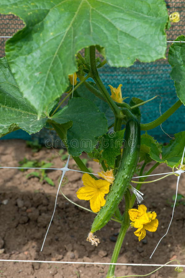 O crescimento e a florescência de pepinos do jardim foto de stock royalty free
