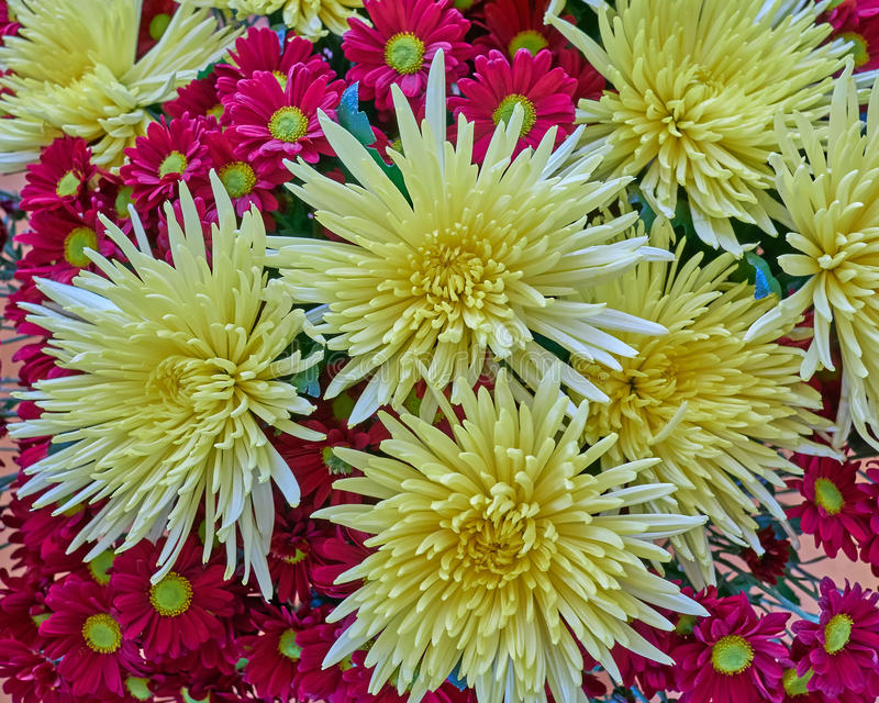 O crisântemo amarelo e roxo floresce o close up imagens de stock royalty free