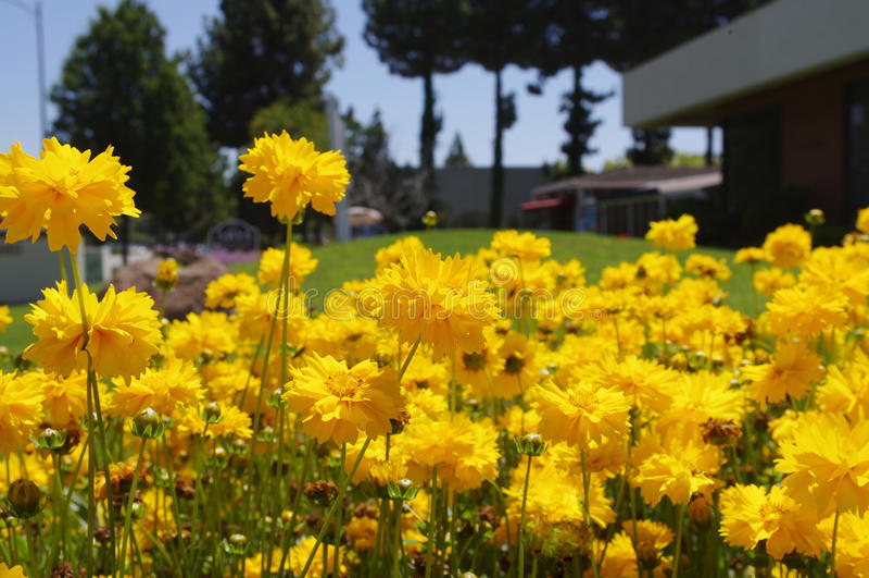 O crisântemo amarelo floresce no2 foto de stock