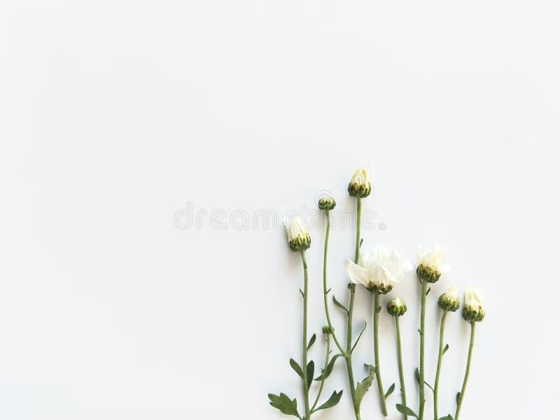 O crisântemo branco de florescência bonito floresce com as folhas verdes no fundo branco imagens de stock
