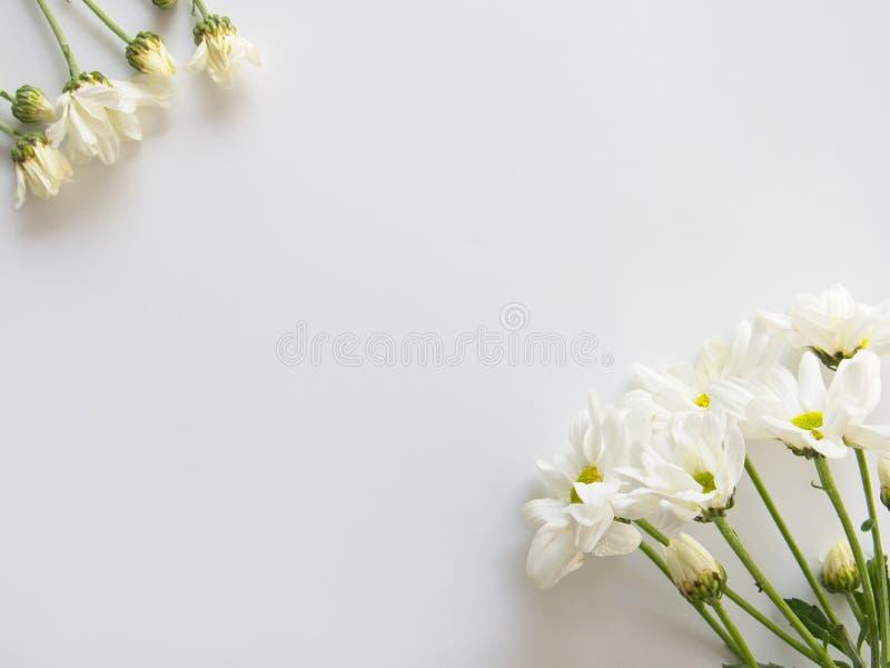O crisântemo branco de florescência bonito floresce com as folhas verdes no fundo branco fotos de stock