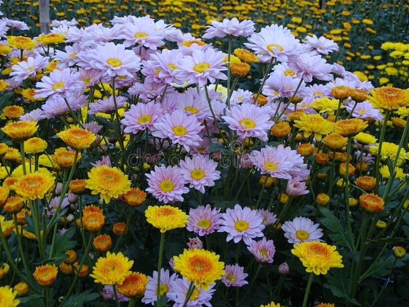 O crisântemo do rosa e do rosa e do yello do chrysantThe do yello tem o pólen amarelo plantado junto imagem de stock