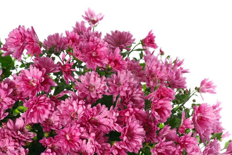 O crisântemo floresce com o orvalho, isolado no branco fotos de stock royalty free