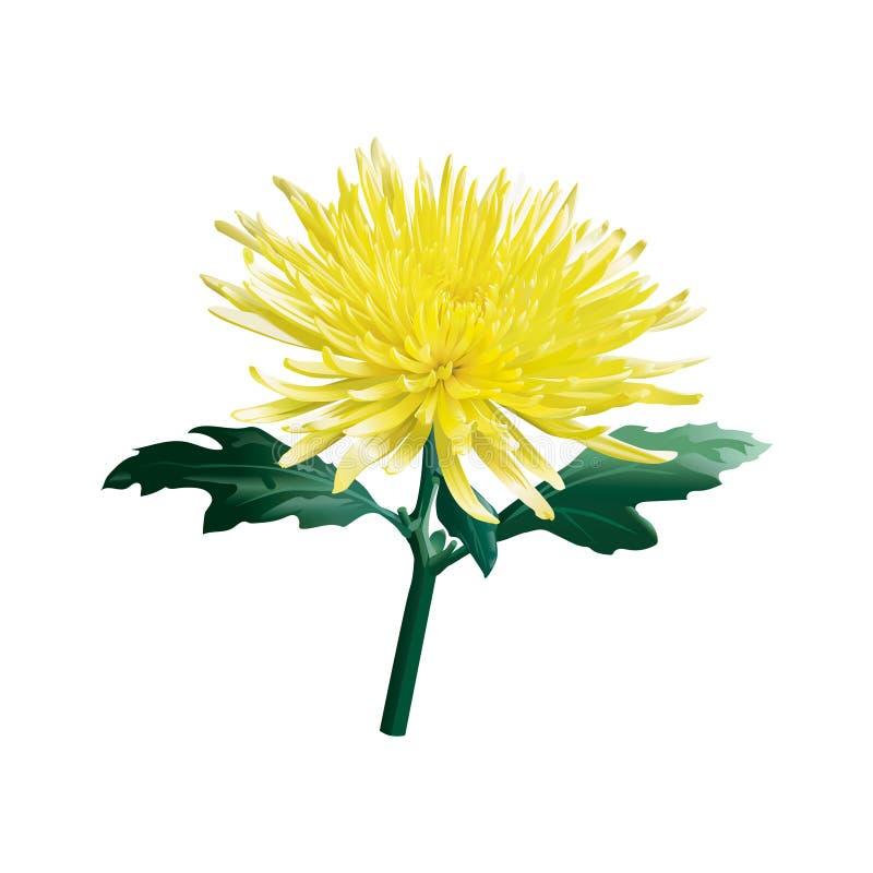 O cris?ntemo amarelo A dourado-margarida Vetor Isolado ilustração do vetor