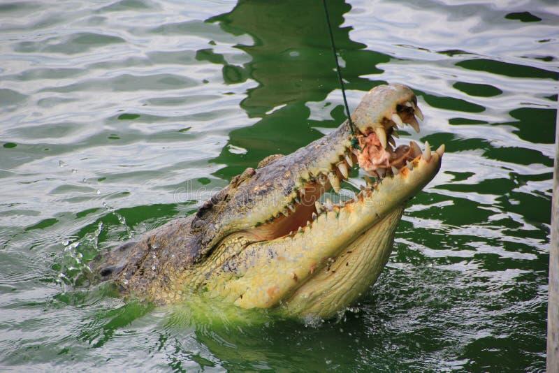O crocodilo come a galinha em Tailândia fotos de stock