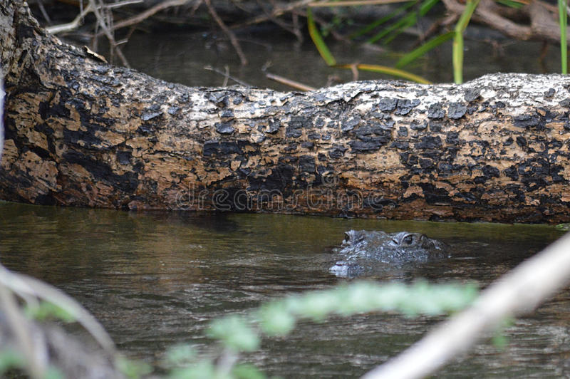O crocodilo de Morelet, moreletii do Crocodylus, Belize foto de stock