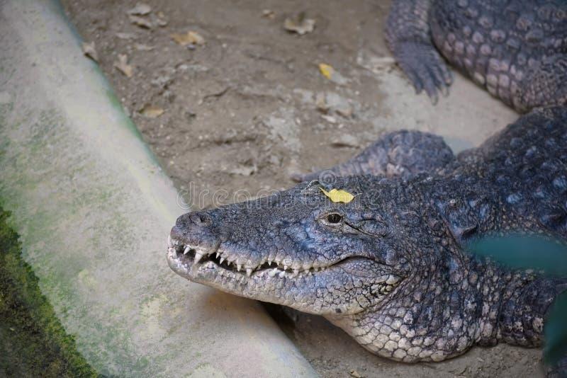 O crocodilo grande que espera com olhos abre imagem de stock