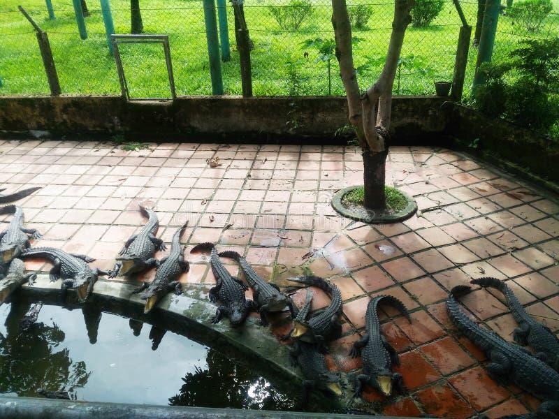 O crocodilo, jacaré, boca, pele, animal, criação de animais, jardim zoológico, predador, fauna, natureza, água, telha, parque, ár imagem de stock royalty free