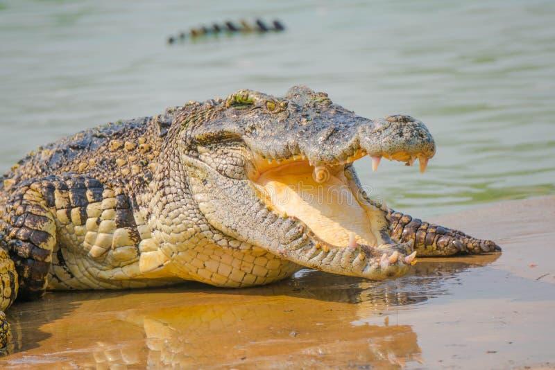O crocodilo na exploração agrícola está comendo alimentos frescos fotos de stock royalty free