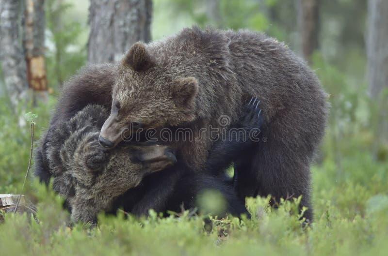 O Cubs dos ursos de Brown que lutam playfully fotografia de stock royalty free