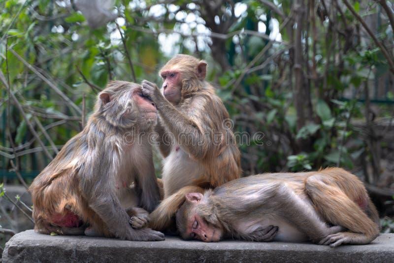 O cuidado do macaco em Kathmandu foto de stock