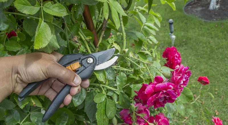 O cultivar de poda aumentou com os secateurs do jardim no jardim do outono foto de stock