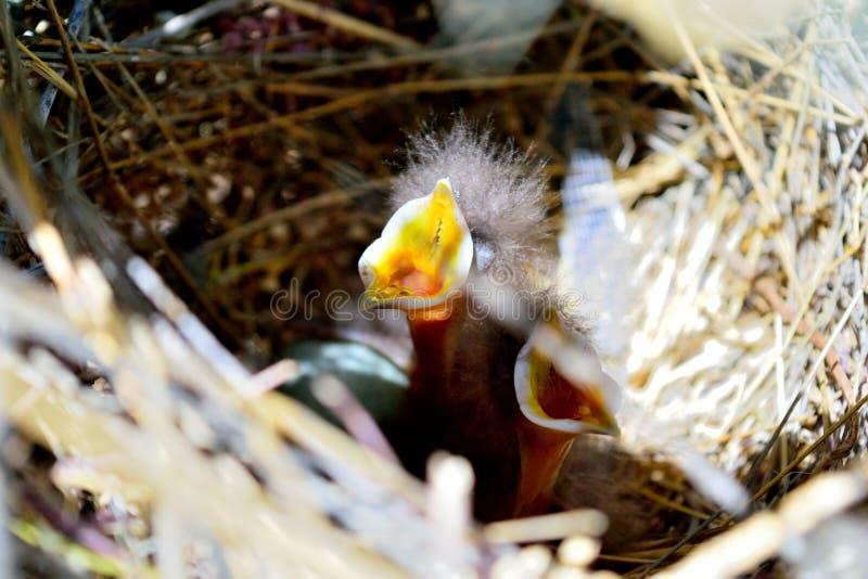 O ` Curva-faturado bebê s do thrasher quer algum alimento! imagem de stock