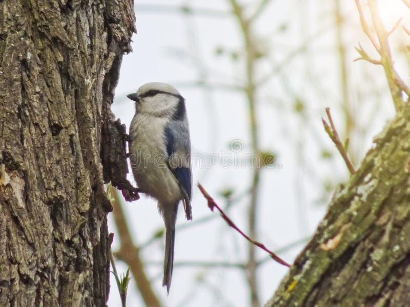 O cyanus de Cyanistes do melharuco dos azuis celestes senta-se em um ramo na mola adiantada na floresta imagem de stock