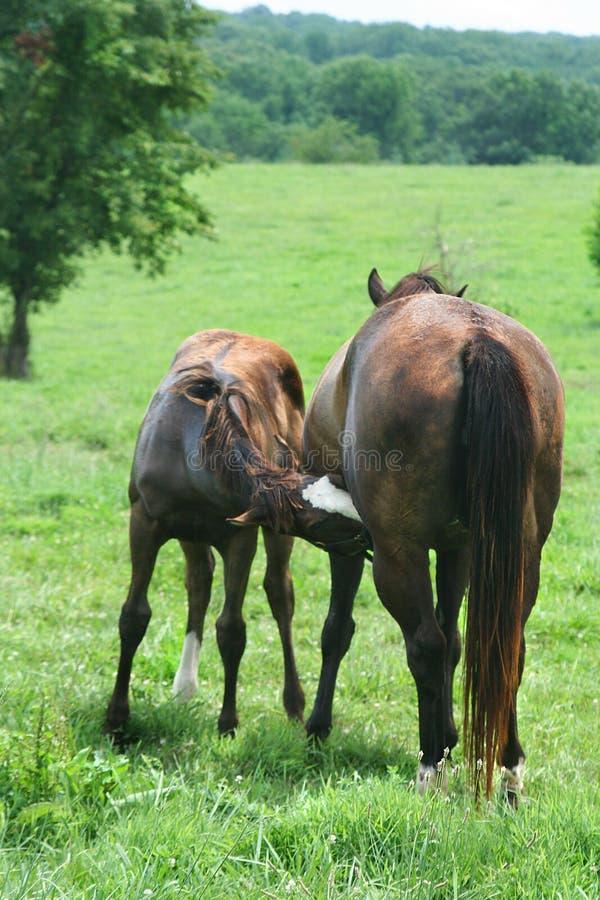 O ` da suficiência er acima, a égua e os cuidados foal no greenpasture ensolarado fotos de stock royalty free