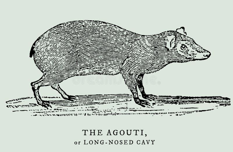 O dasyprocta da cutia ou o cavy longo-cheirado na opinião do perfil Ilustração ilustração stock