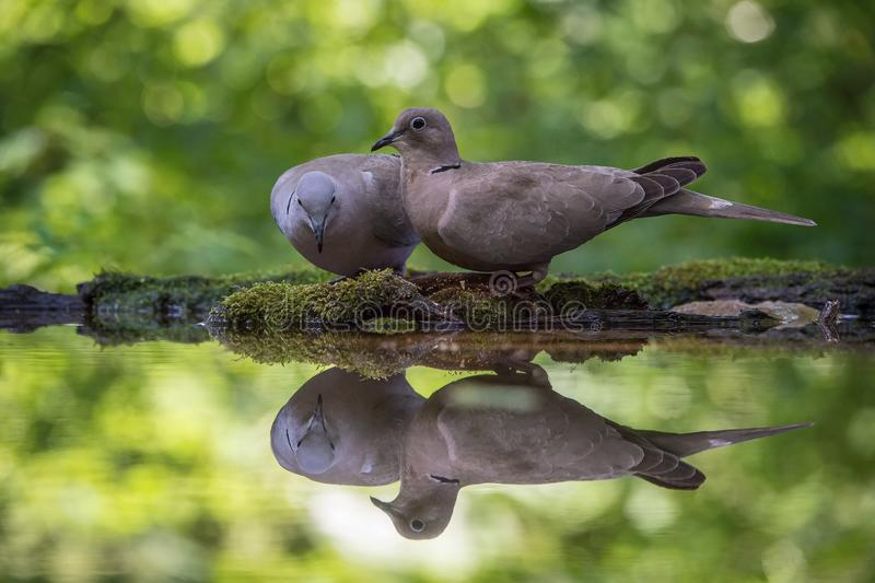 O decaocto colocado um colar euro-asiático da pomba ou do Streptopelia está sentando-se no waterhole imagens de stock royalty free