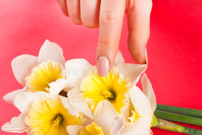 O dedo fêmea com pregos bege colore flor tocante do narciso fotografia de stock