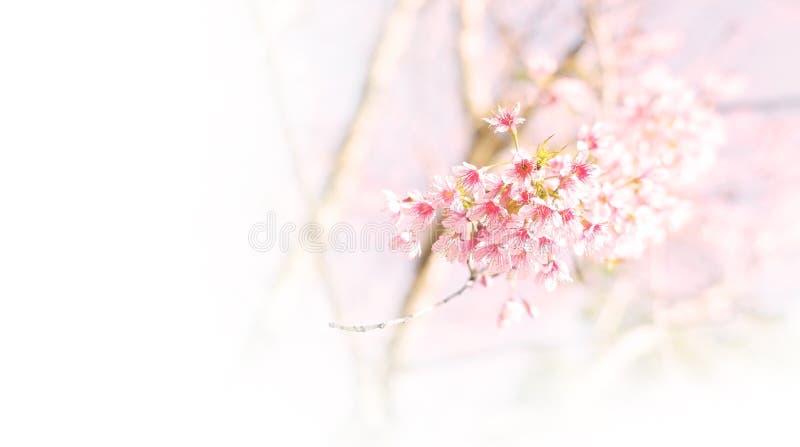 O delicado cor-de-rosa borrou o fundo da flor, flor de cerejeira selvagem (sakura fotografia de stock