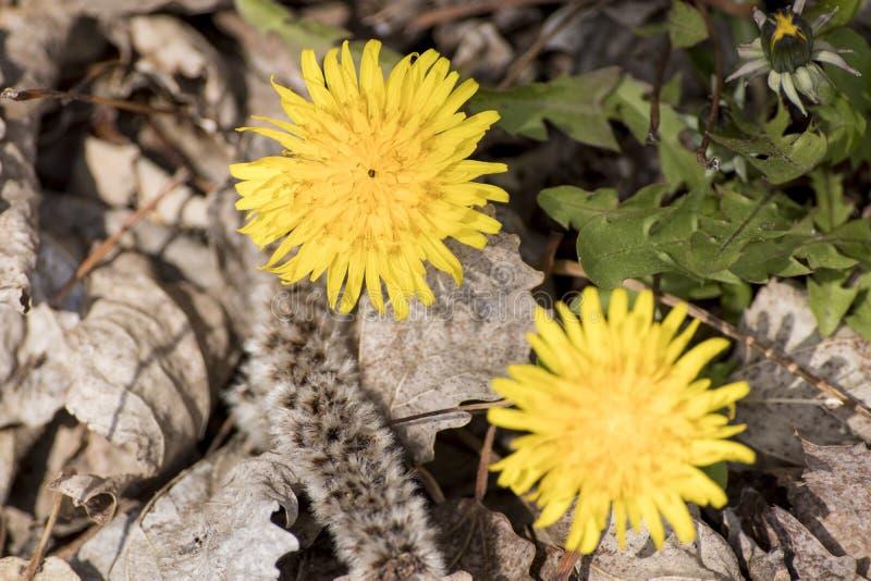 O dente-de-leão amarelo do Taraxacum na flor com algum sae fotografia de stock