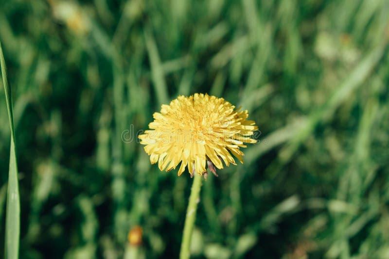 O dente-de-leão amarelo entre a grama grossa foto de stock royalty free
