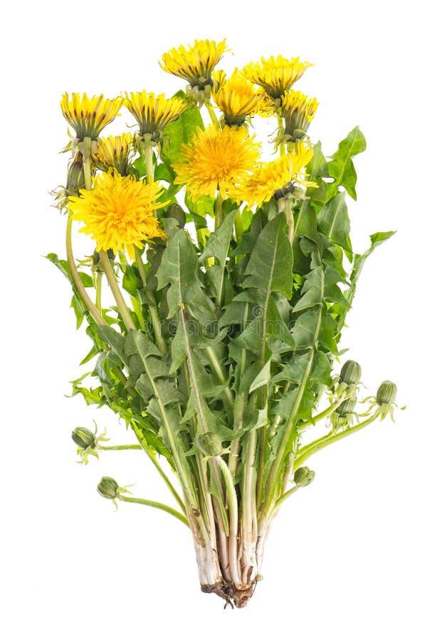 O dente-de-leão floresce o officinale verde do Taraxacum das folhas imagem de stock