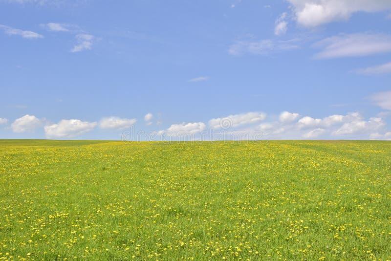 O dente-de-leão no campo verde e no céu azul fotografia de stock royalty free