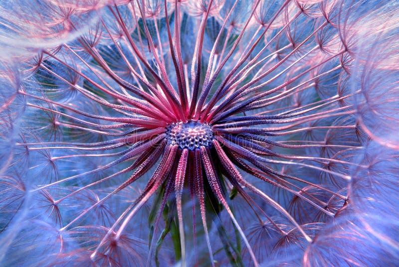O dente-de-leão semeia o fundo da textura Fim acima rosa macio e fundo estrutural natural azul microcosm foto de stock royalty free