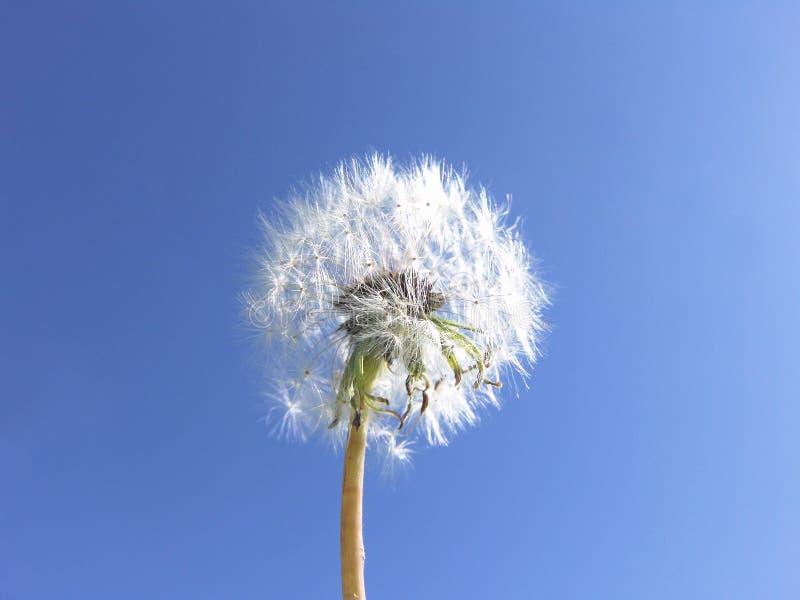 O dente-de-leão semeia o fundo do céu azul -- Desejos fotos de stock royalty free
