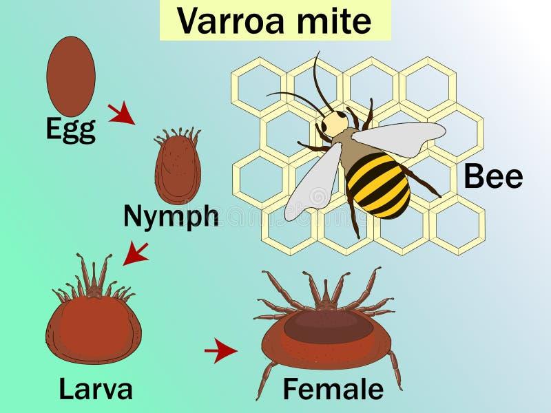 O destruidor de Varroa é um ácaro parasítico externo que ataque as abelhas do mel, ciclo Carta médica da educação da biologia ilustração stock