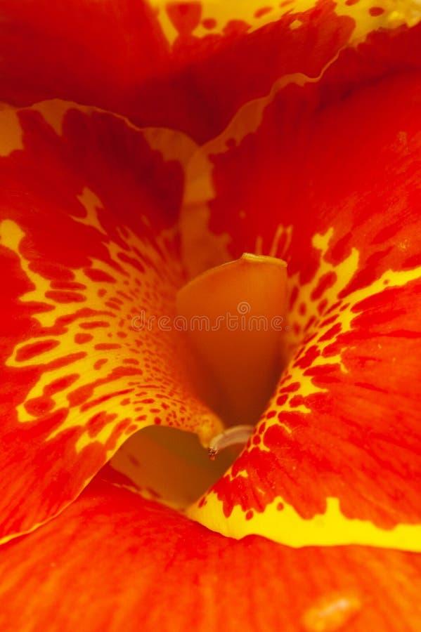 O detalhe colorido de um hibiscus abaixa imagem de stock
