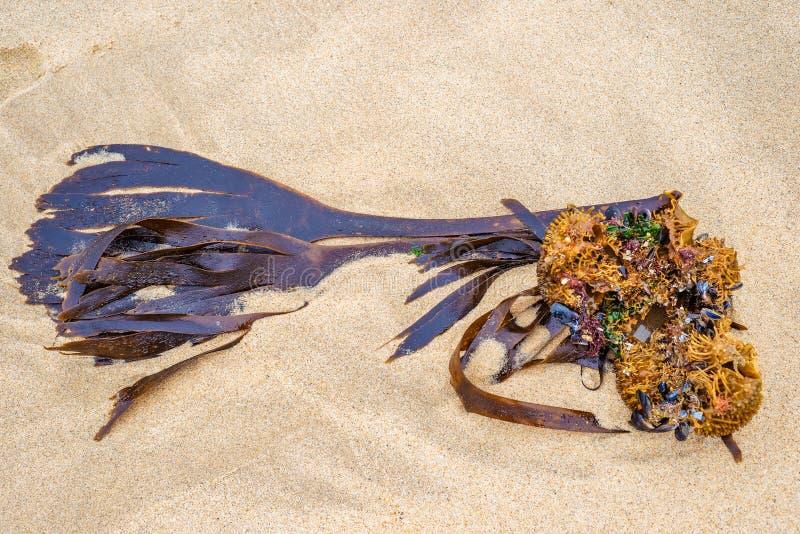 O detalhe de plano marinho da erva daninha do oceano do mar da alga lavou na areia da praia fotografia de stock royalty free