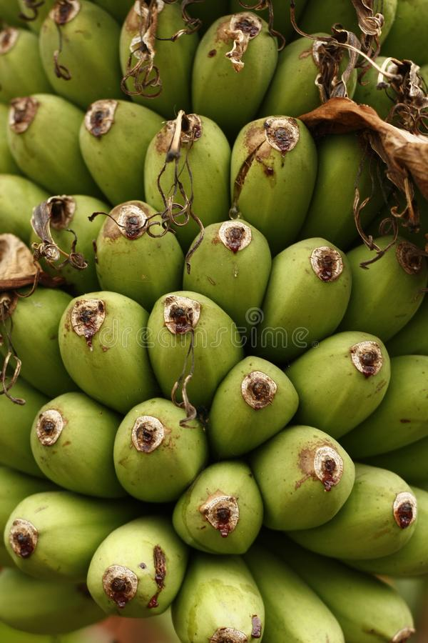 o detalhe de um grupo de bananas verdes verdes fecha-se acima em uma árvore imagens de stock royalty free