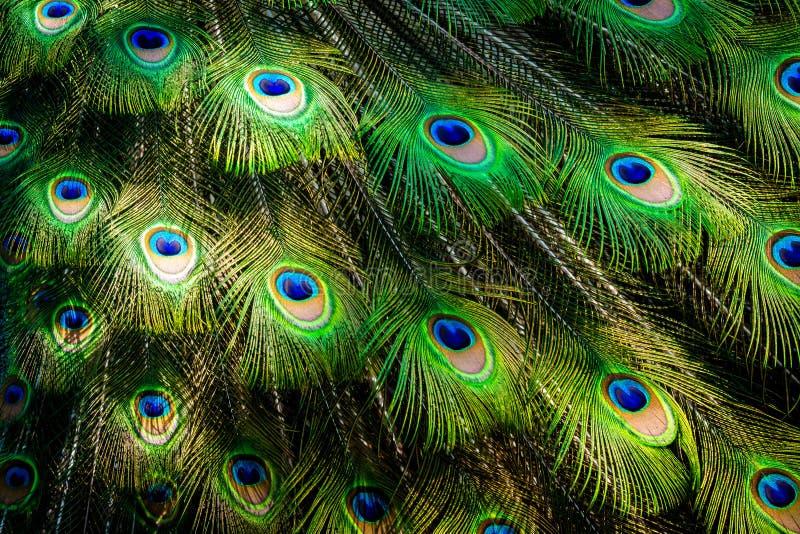 O detalhe de uma cauda bonita do pavão desdobrou-se Suas cores verdes e azuis estão para fora foto de stock