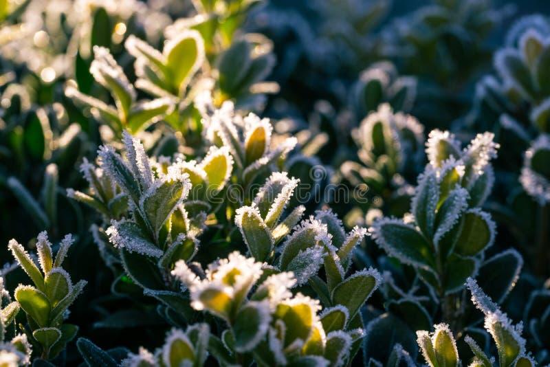 O detalhe de verde congelado deixa o buxo do od na luz da manhã foto de stock royalty free