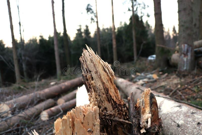 O detalhe na árvore e árvores após a colheita imagem de stock royalty free