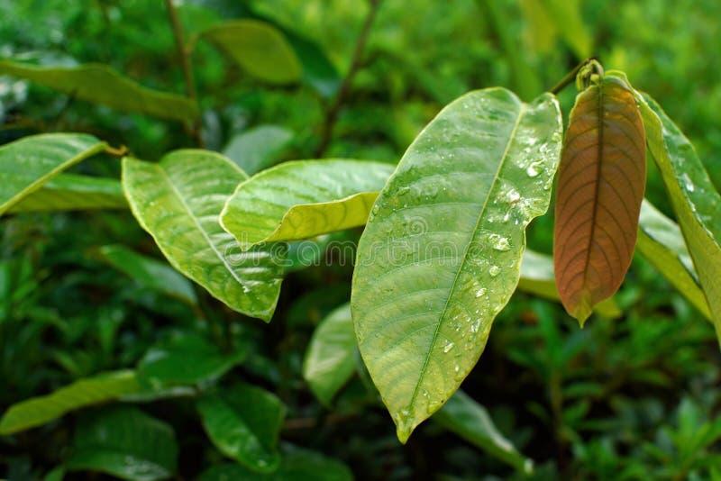 O detalhe nas grandes folhas verdes grossas com gotas da manhã orvalha - a ilustração africana da selva da floresta úmida fotografia de stock royalty free