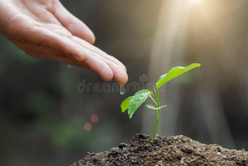 O dia de ambiente de mundo, mão masculina que dá a água à árvore com com gota sobre o ambiente da luz solar do verde e da manhã p imagem de stock royalty free