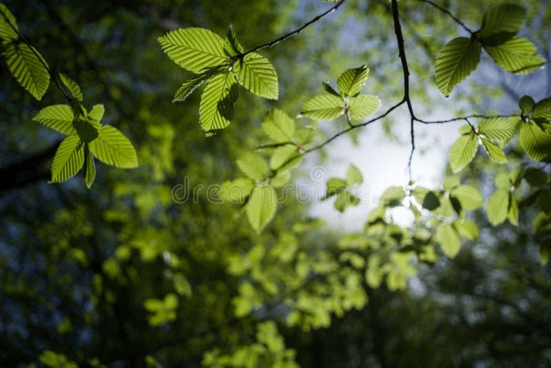 O dia ensolarado na floresta decíduo ramifica da avelã comum, iluminado pela luz solar imagens de stock royalty free