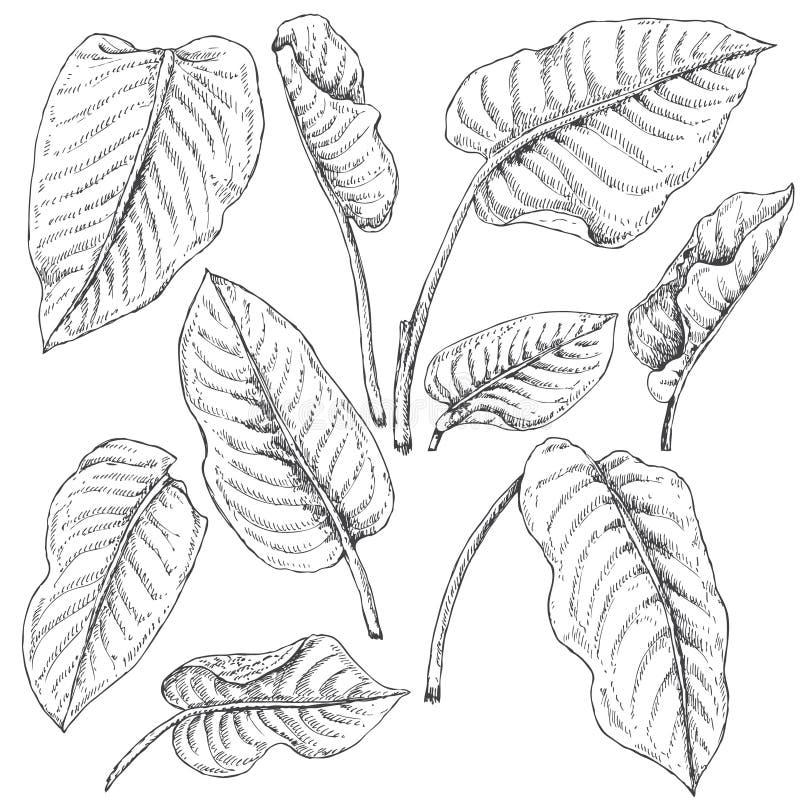 O Dieffenbachia deixa o esboço ilustração stock