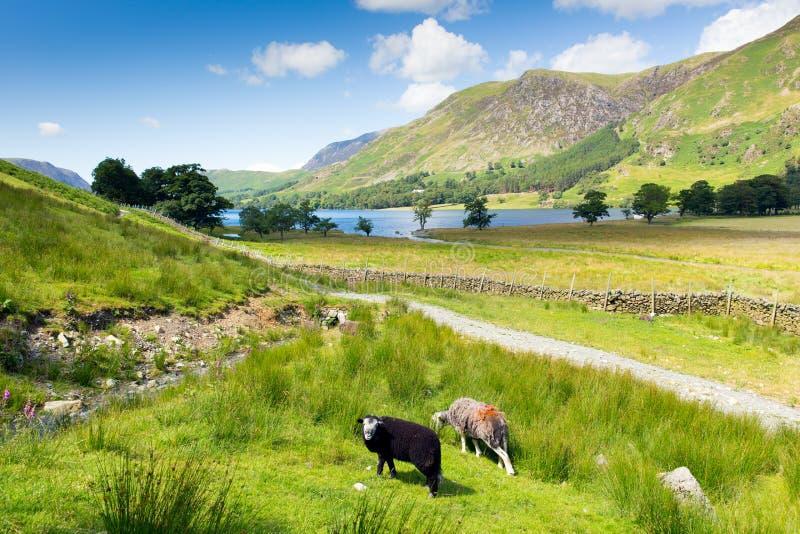 O distrito Cumbria Inglaterra Reino Unido do lago Buttermere dos carneiros de Herdwick em um dia de verão ensolarado bonito cerca fotos de stock
