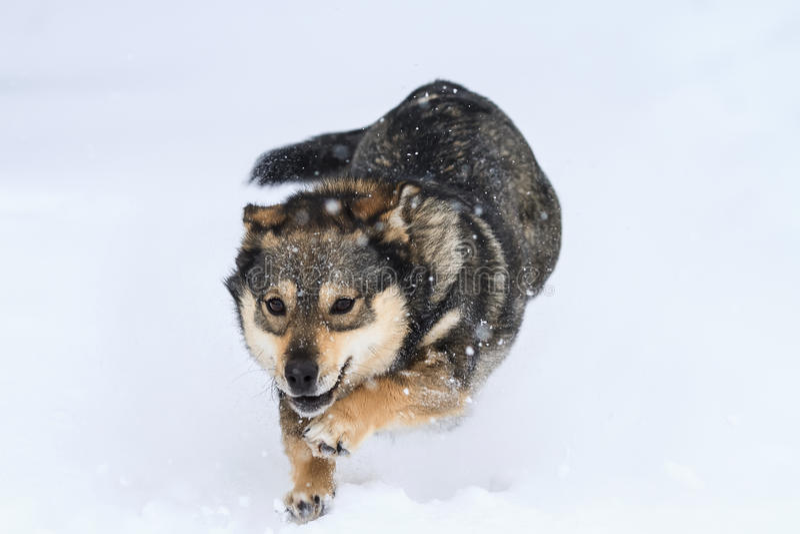 O divertimento brincalhão do cachorrinho corre e salta na neve no parque imagens de stock royalty free