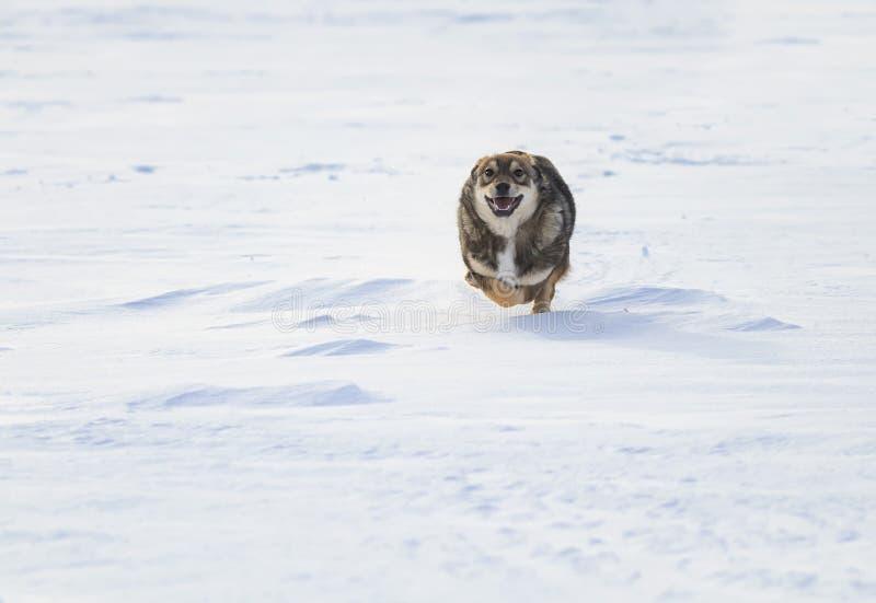 O divertimento brincalhão do cachorrinho corre e salta na neve no parque foto de stock